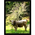 calf cow nature France summer september meadow animal countryside