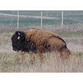 bison brown big nature