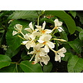 vine vines trepadeiras flower flowers nature brazil