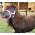 A mini-horse- Her name is Liza, an she is an American Miniature Horse.