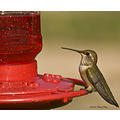birds nature hummingbird CS4