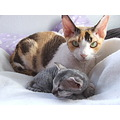 devon rex cats kitten mother son