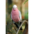 galah bird wildlife