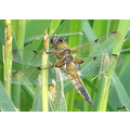 dragonfly broad bodied chaser insect