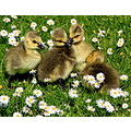 Goslings in Regents Park