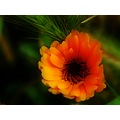 flower orange nature soft Mariamel