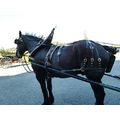 Percheron horse magnificent