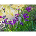irises ogardenfph purple pond