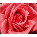 Pink Rose New Dawn Coral Waterdrops Closeup June 2014 Sweden Skane