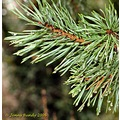 Fir cones tree evergreen nature
