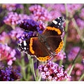 red admiral butterfly pembrokeshire