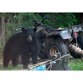 bear wheeler atv blackbear