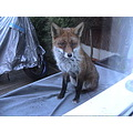 urban fox - came down in the morning to see this guy waking up from a good night's sleep on top o...