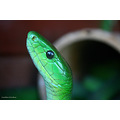 snake gunter green mamba blur eye
