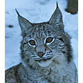 Young lynx in the snow at http://en.nordensark.se/