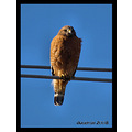 california redding neighborhood birds redshoulderedhawk