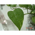 Natural Leaf Green