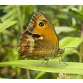 Butterflys- Small gatekeeper - why only 4 legs ?