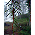 rain drop tree pine needle