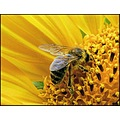 sunflower bee insect