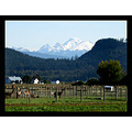 Skagit Valley alpaca Mount Baker