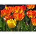flowers garden orangee tulip yellow