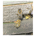 bee bees nature insect macro pollen busy