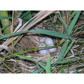four little moor hen eggs in the nest. i had to be quick as the mother was n't that happy with me...