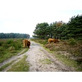 netherlands bussum heather animal cattle nethx bussx heatn animx cattx