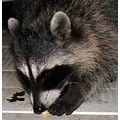 racoon 6400th upload 6400
