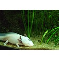 axolotl amphibian salamander animal nature white