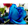 iran karaj flowers blue ros summer