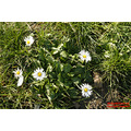 Bellis Perennis february