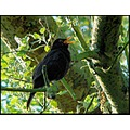 birds blackbird singing