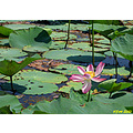 Water Lily Iran Nature Flower