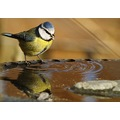 Blue Tit Bird Birds Animals Nature Wildlife Wild Natural Water