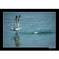 seagull birds animals nature sea take off trikeri greece