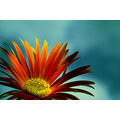 gerbera flower petal nature orange sky