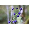 Lake Matheson Westland NZ Fixit berries purple