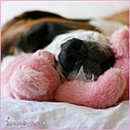 holly dog saint bernard teddy pink sleeping nose