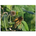 blackeyedsusan wildflower insect nature garden fall seedhead