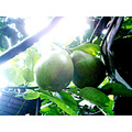 Nope, they're not avocados. It's Pomelo season once again in the Philippines. These are the unrip...