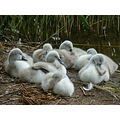 cygnets baby fluffy grey nature water