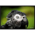 african grey parrot nature wildlife
