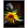 sunflower flower flora pankey wildspirit backyard nature plant