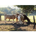 togethernessfriday funfriday cows northern germany