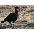 Full view ground hornbill