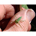 Insect young Praying Mantis hand perth littleollie