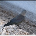 jackdaw bird winter