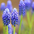 macro blue flower muscari grape hyacinth close up